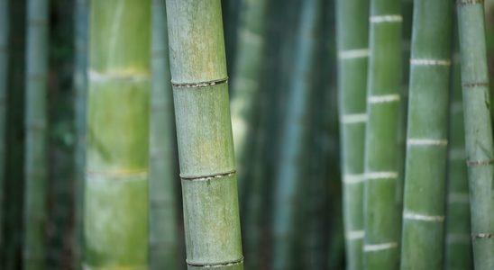 bambusový les